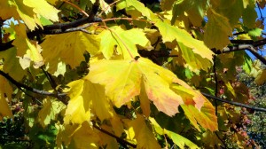 sycamore leaf just turning