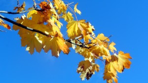 sycamore leaves against the sky