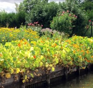 nasturtiums at hortillinonnage