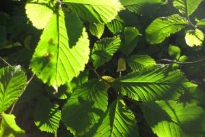 Viburnum leaves in autumn