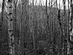black and white forest_opt