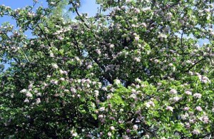 apple tree_opt