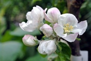My newest apple tree in blossom.