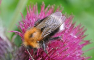Bombus hypnorum the Tree bumblebee