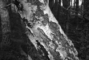 B and W birch trunk